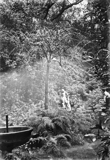 The 'copper' beech tree fountain at Chatsworth, 1924