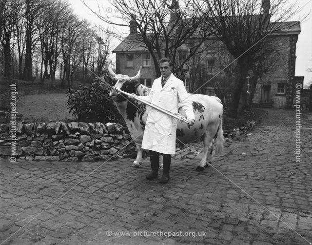 Man Leading Bull, The Milk Marketing Board, Fairfield, Buxton, 1957