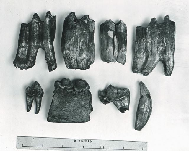 Prehistoric bison and hyena teeth found in Hoe Grange Cave