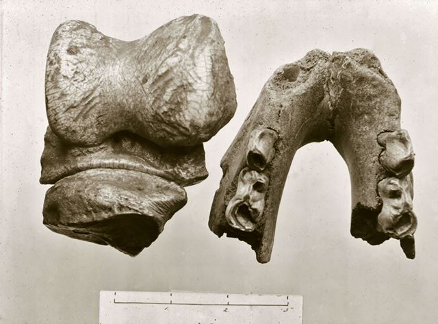 Excavated prehistoric woolly Rhino bone and teeth - Creswell Crags