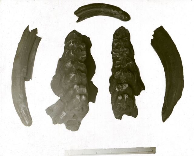 Excavated prehistoric Hippopotamus teeth - Creswell Crags
