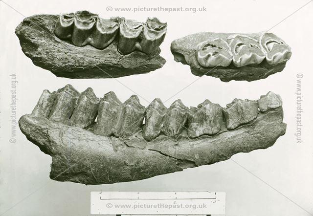 Excavated prehistoric Great Irish Deer (Elk) teeth - Creswell Crags