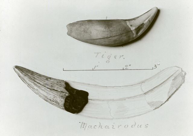 Excavated prehistoric Sabre-toothed tiger teeth