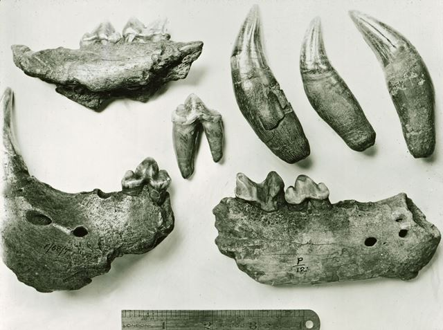 Excavated prehistoric Cave Lion jaw and teeth