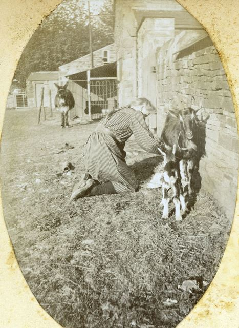 Milking a Goat, possibly Sutton Rock Farm, Sutton Scarsdale, c 1910
