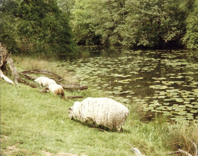 Sheep grazing by the lake at Calke Abbey.