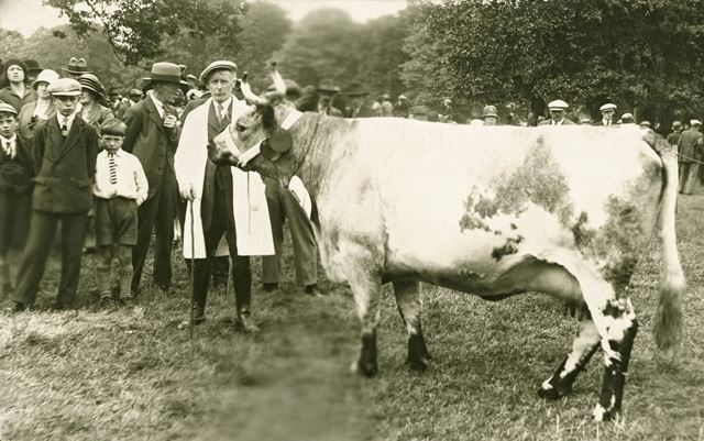 A Blue Albion Cow on show