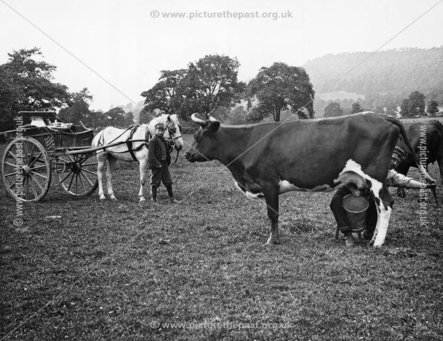 Milking in the fields, Scotland, 1905