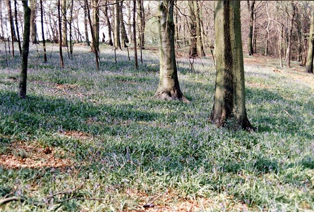 Bluebell Woods in Moss Valley