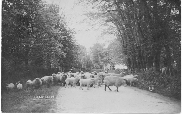 Sheep being herded through Laneham Village