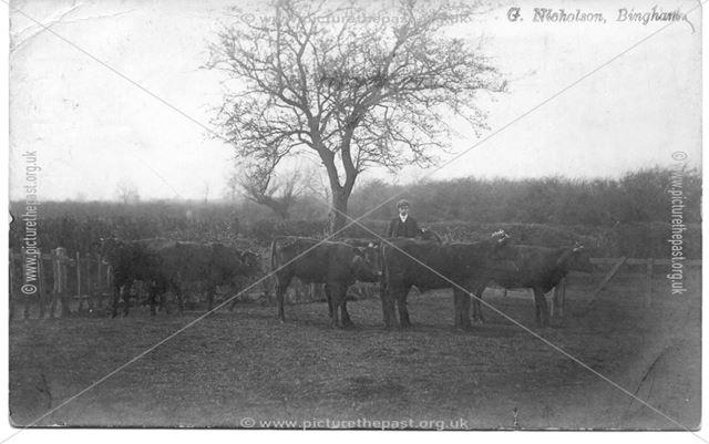 Farmhand with Cattle, nr Bingham
