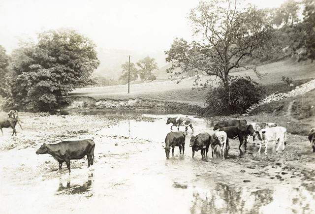 Cattle drinking from a river, unknown location, Peak District, c 1940s ?