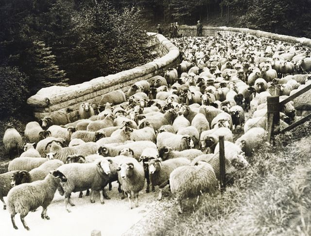 Flock of sheep on Hollin Clough Bridge, Derwent, 1942 ?