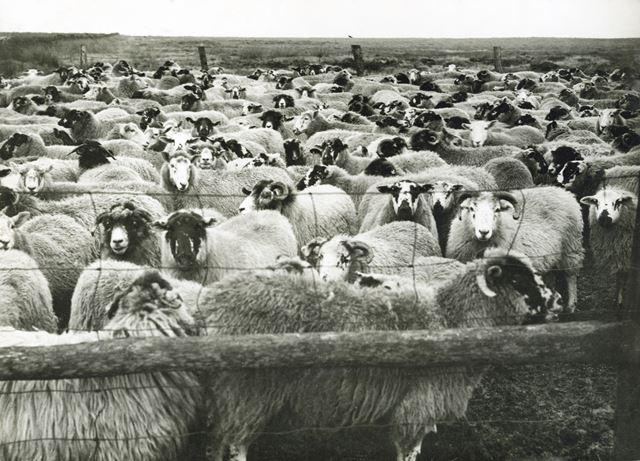 Annual roundup of moorland sheep, Fox House Moors, Longshaw, undated