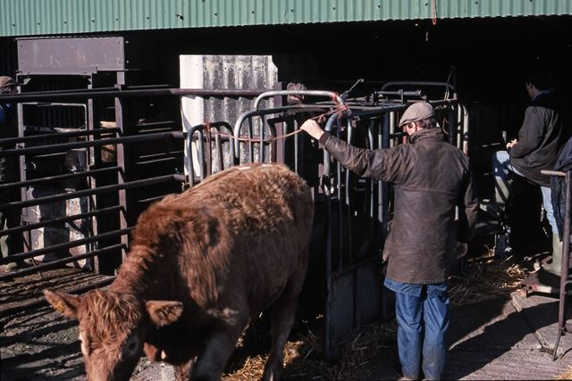 Cows Being Weighed, Cattle Auctioning Shed, Cattle Market, Tolney Lane, Newark, 1990