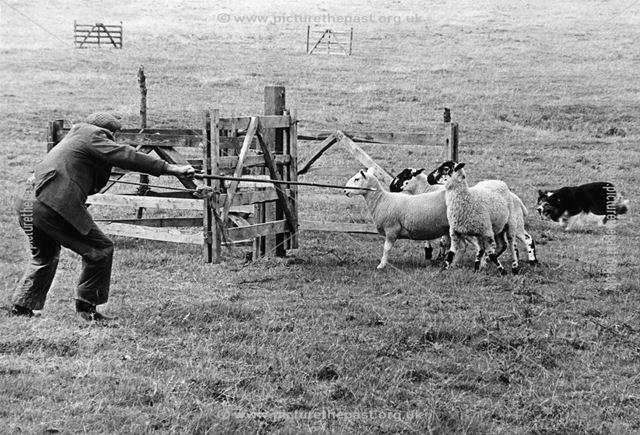 Sheepdog trials, dovedale, 1979