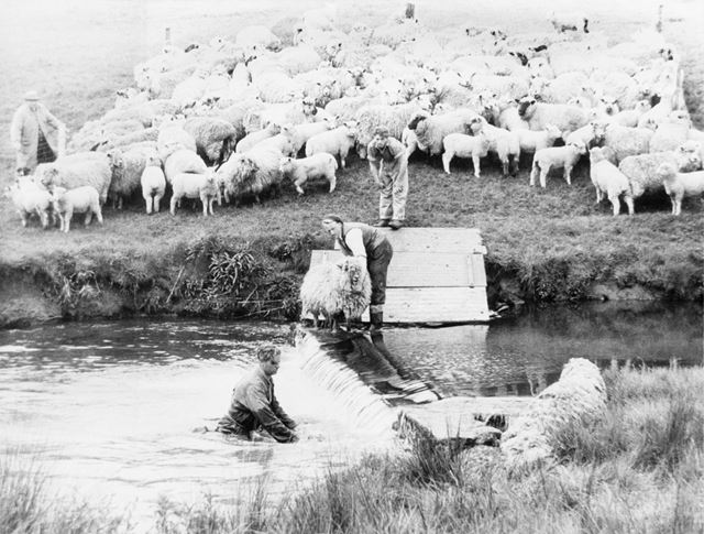 Sheep dipping in the river, Tissington, c 1980s