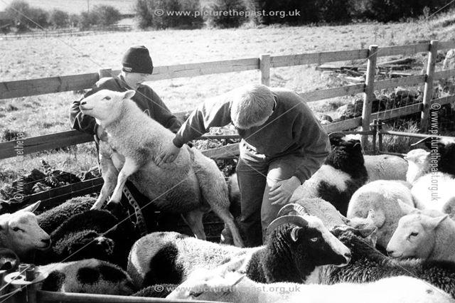 Daniel Smith and David White injecting sheep